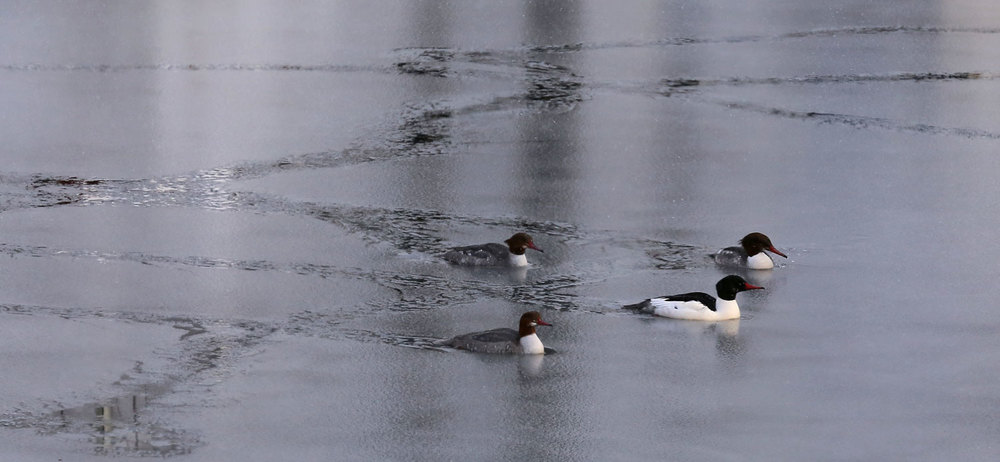 Mergansers breaking trail.