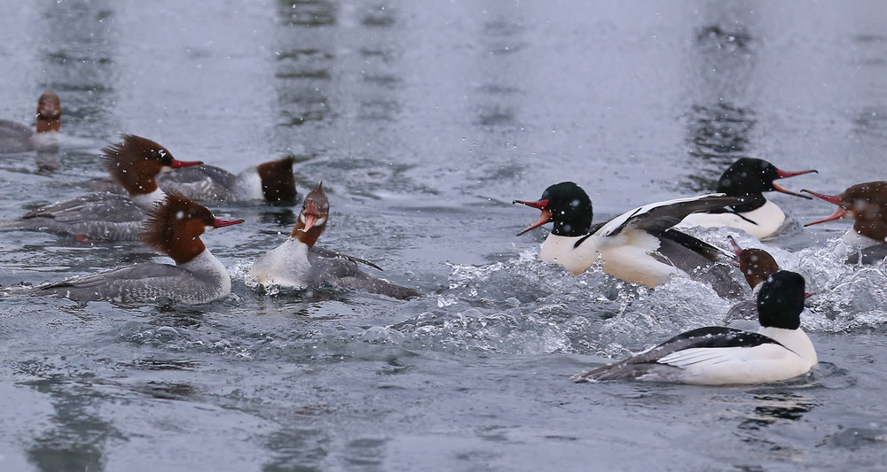Did you hear about the merganser that walked into the Potlatch Bar....