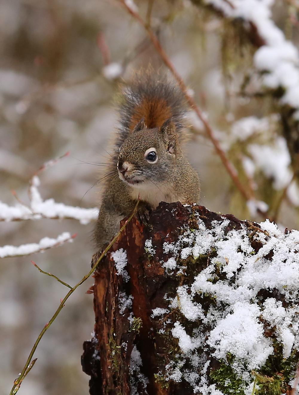 Red squirrel Alaska tree squirrel