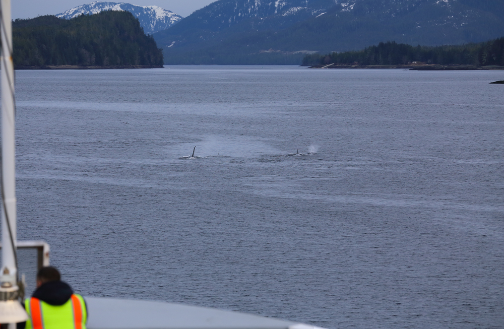 Killer whales (orca) in front of the ferry in Tongass Narrows by Ketchikan, Alaska.