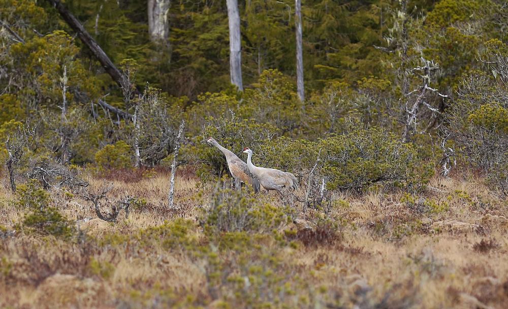 Sandhill crane pair Alaska muskeg