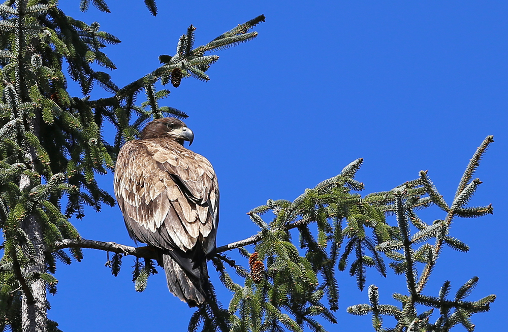 Immature bald eagle giving me the stern, over the shoulder look.