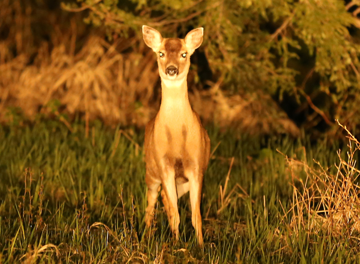 Doe in the Headlights  (Lighthearted)