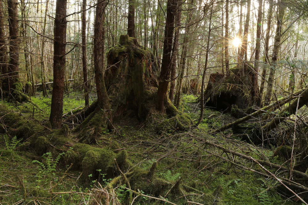 Stump second growth forest reprod Alaska