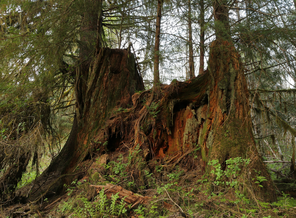 Alaska stump regrowth second growth forest reprod logging