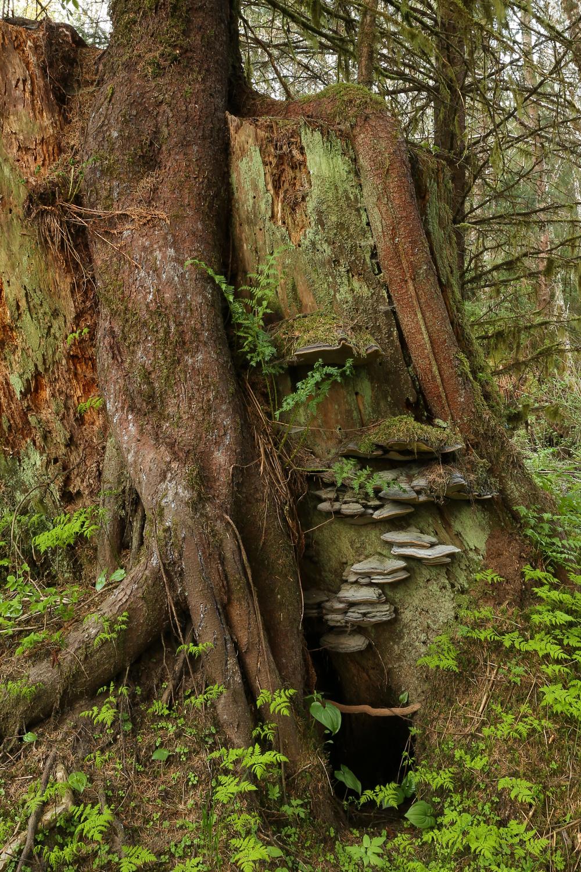 stump roots bracket fungus second growth logging Alaska