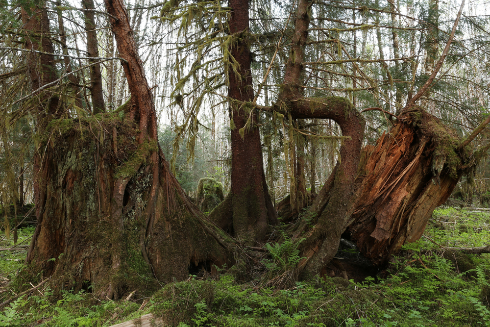 forest stumps second growth logging reprod Alaska
