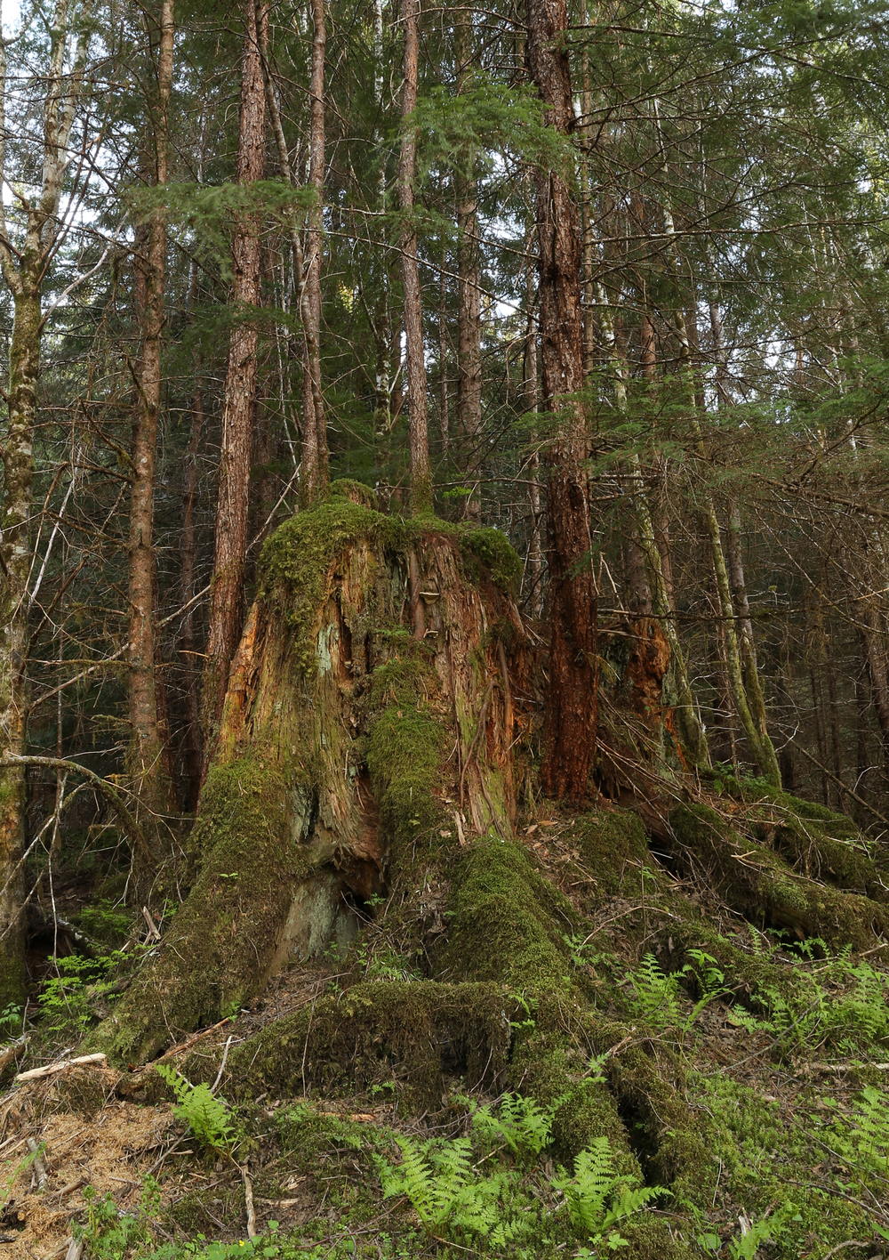 Big stump second growth logging Alaska
