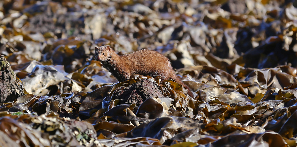 Mink  (Neovison vison)  look for food in the seaweed at low tide on Memorial Beach, Prince of Wales Island, Alaska.