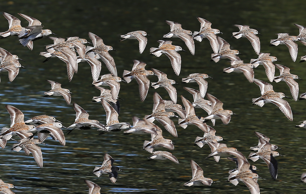 Several species of sandpiper in flight.