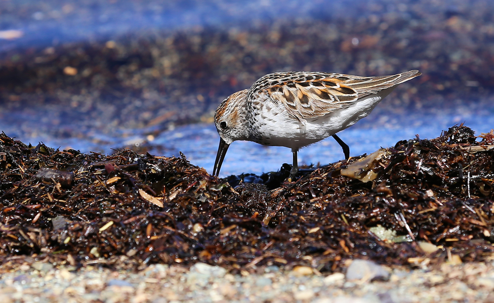 The dark legs, tiny size, and long, slightly down-curved beak suggest that this is a Western sandpiper (Calidris mauri).