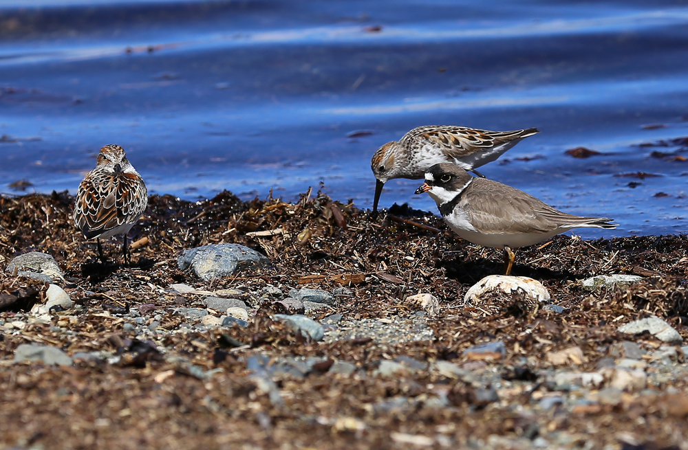 Semipalmated plover (Charadrius semipalmatus) and two sandpipers.
