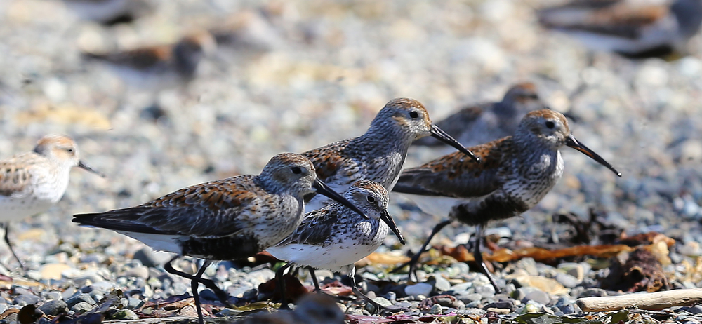 A Western Sandpiper among the larger Dunlins.