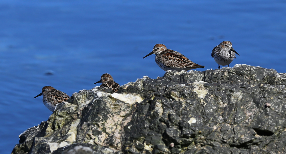 sandpipers (Calidris mauri) rock beach Southeast Alaska
