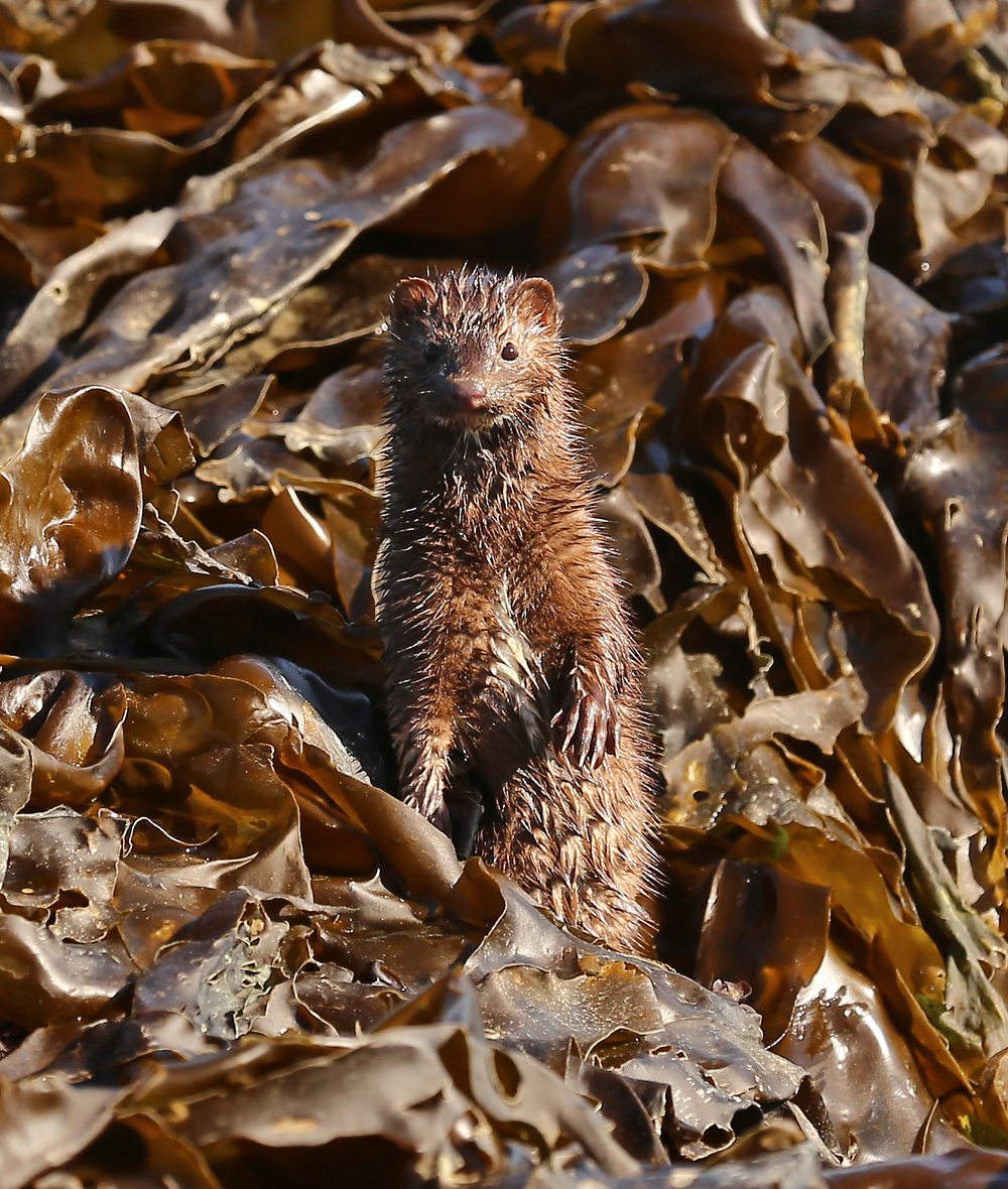 This mink was especially curious. It popped up in several places to see what I was.