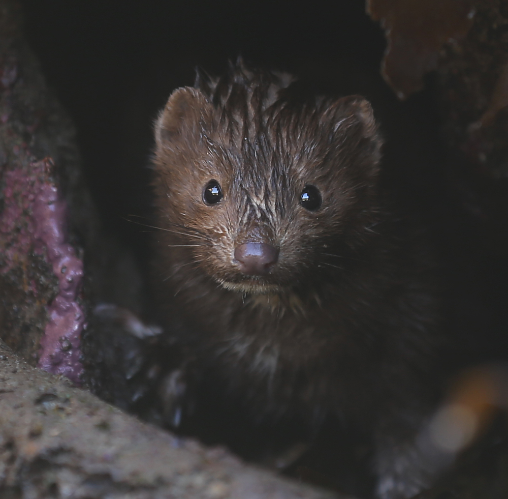 Mink face close up cave Southeast Alaska