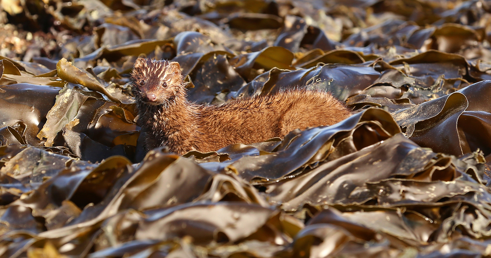 Kelp mink beach Southeast Alaska
