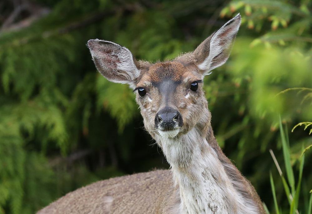 This doe has a yellow ring of pollen in each nostril.
