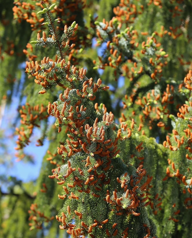 Male spruce flowers.