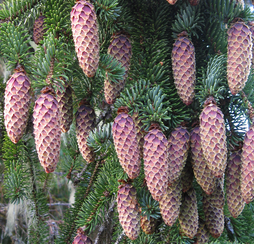 Purple tinted spruce cones