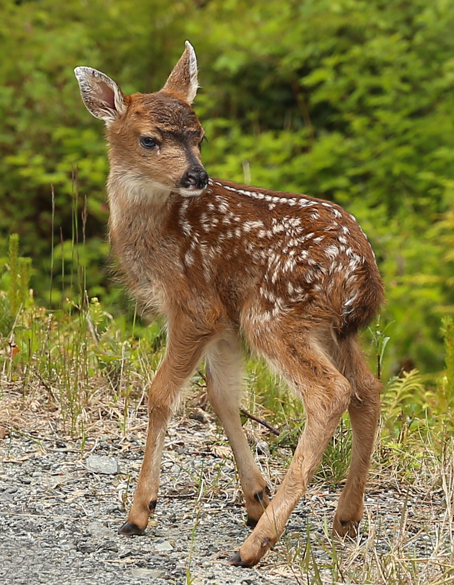 A fresh, new Sitka Blacktail fawn in Southeast Alaska.