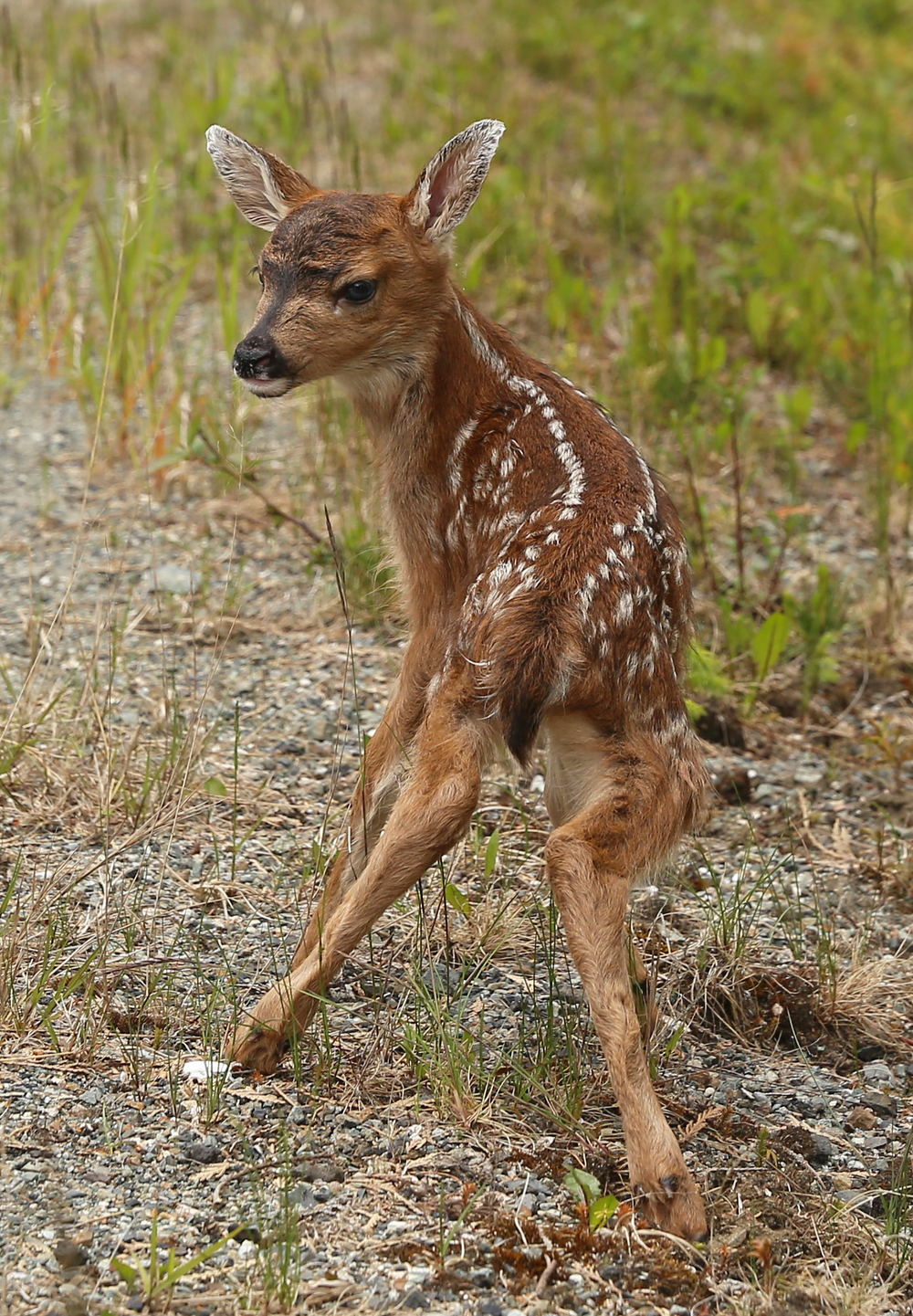 Wobbly adorable cute Fawn Sitka Blacktail Southeast Alaska blue eyes