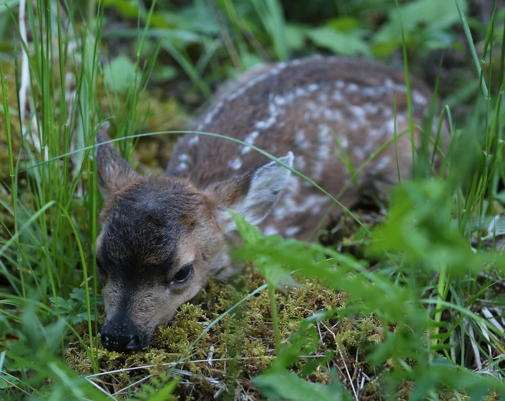fawn baby deer Southeast Alaska Prince of Wales Island