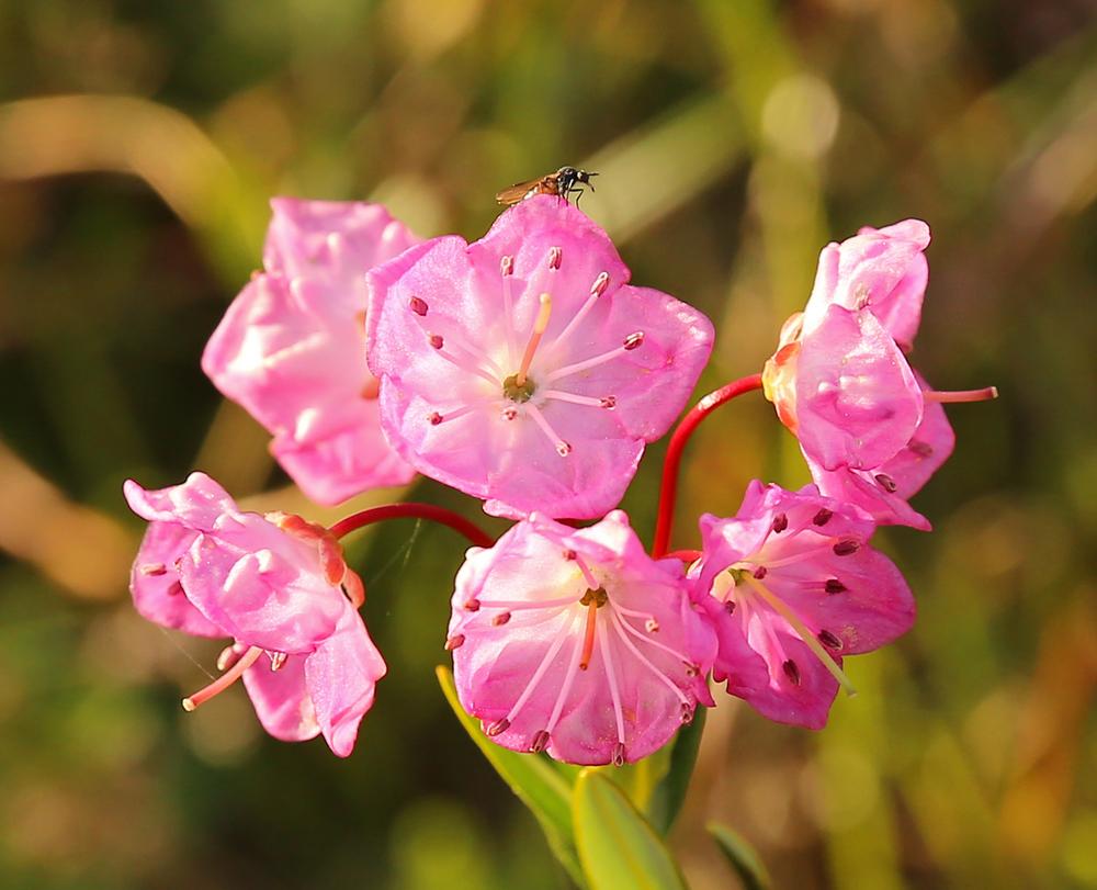 Bog Laurel ( Kalmia microphylla )
