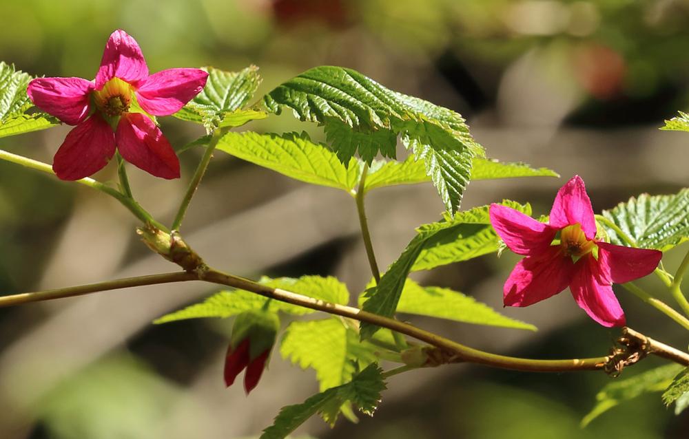 Salmonberry ( Rubus spectabilis )