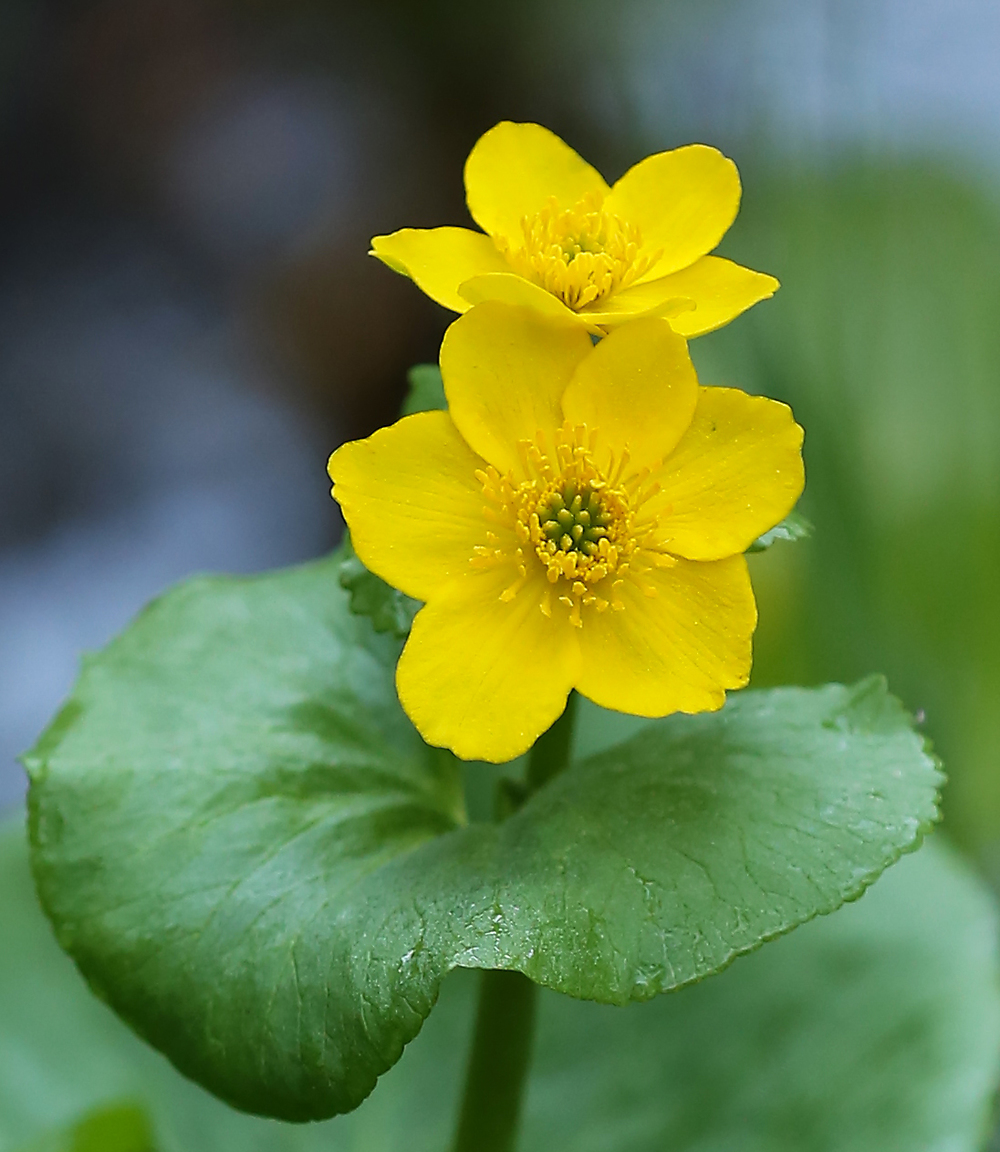Yellow marsh marigold (Caltha palustris ssp. asarifolia)