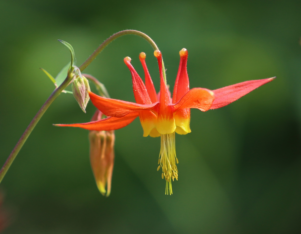 Wild red columbine (Aquilegia formosa)