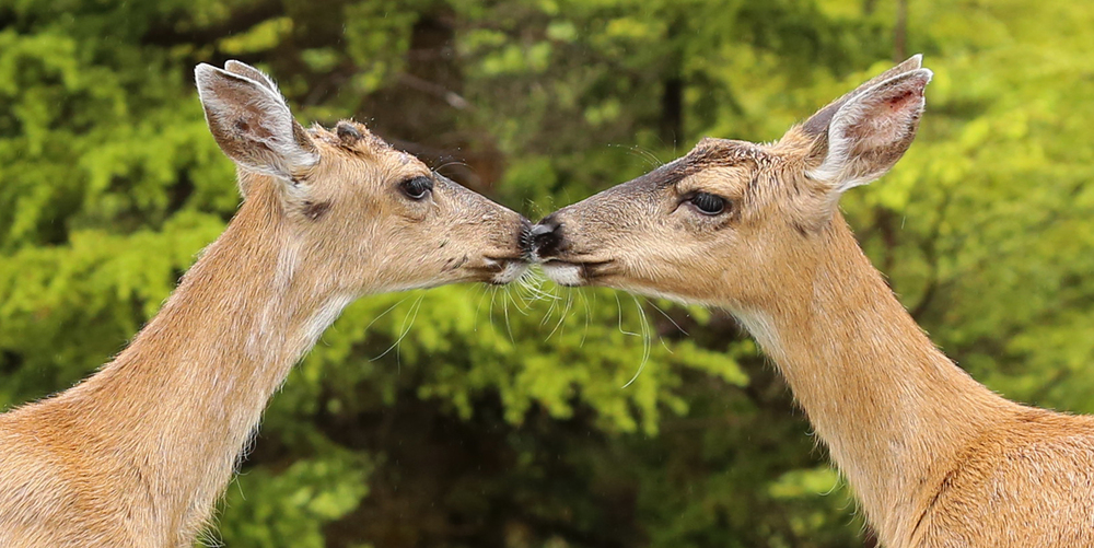 Deer kiss Sitka blacktail button buck doe touch noses love Southeast Alaska twins yearlings Prince of Wales Island (Odocoileus hemionus sitkensis)