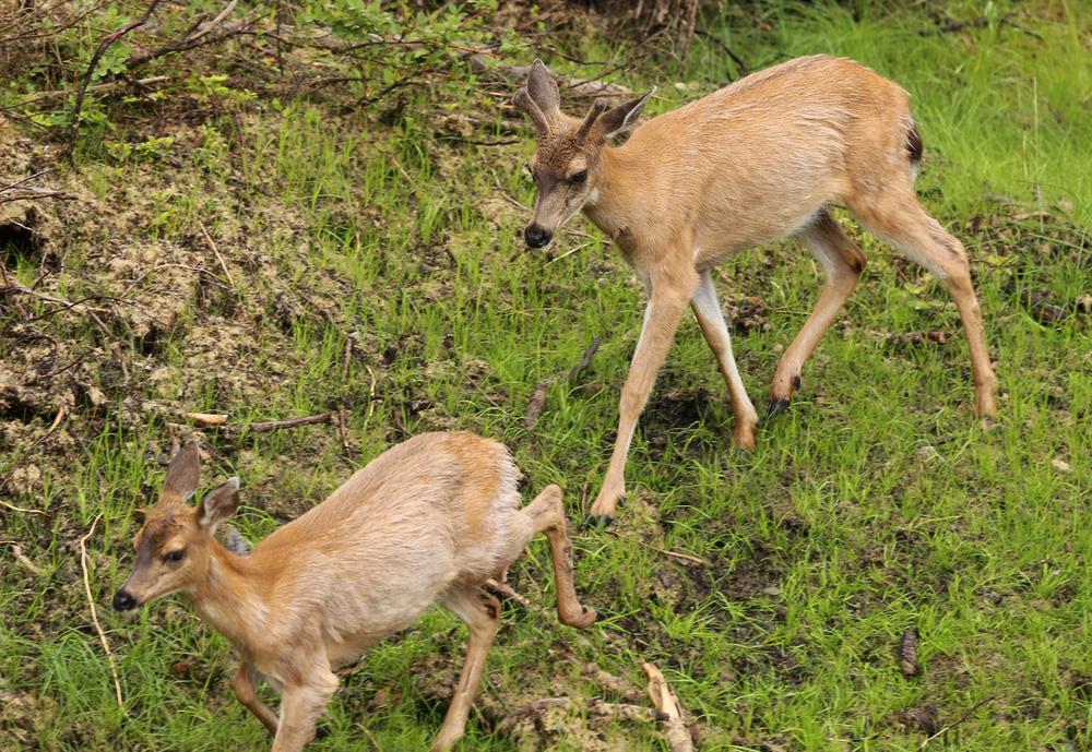 Buck deer doe forked horn sitka blacktail buck southeast alaska prince of wales island