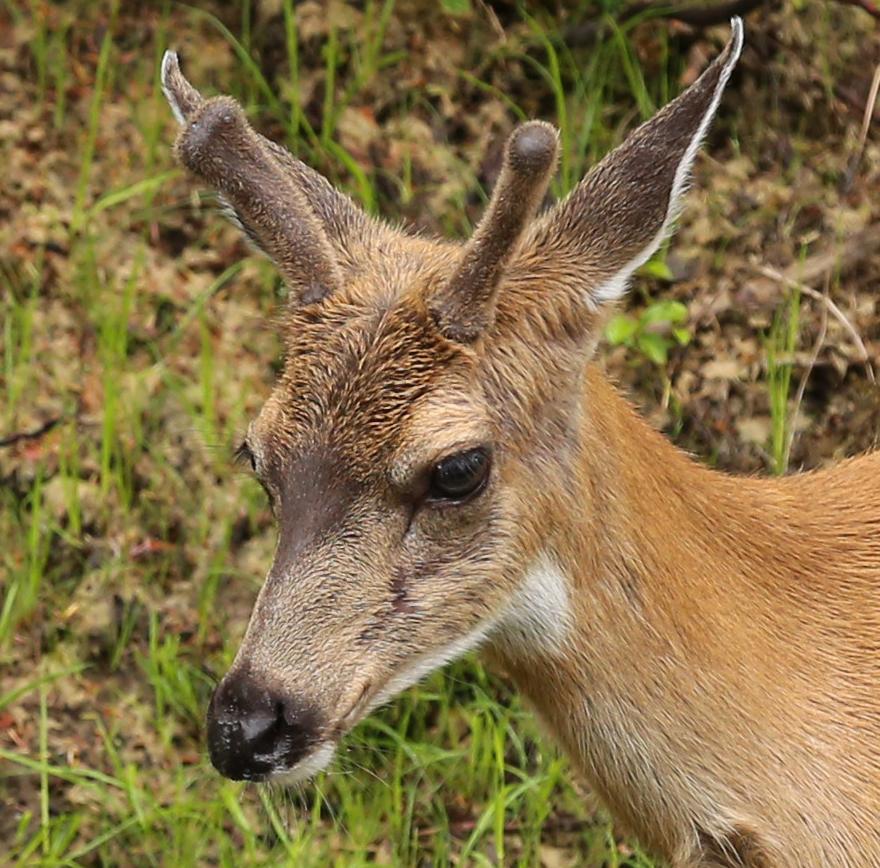 buck deer in velvet sitka blacktail close up southeast alaska prince of wales island