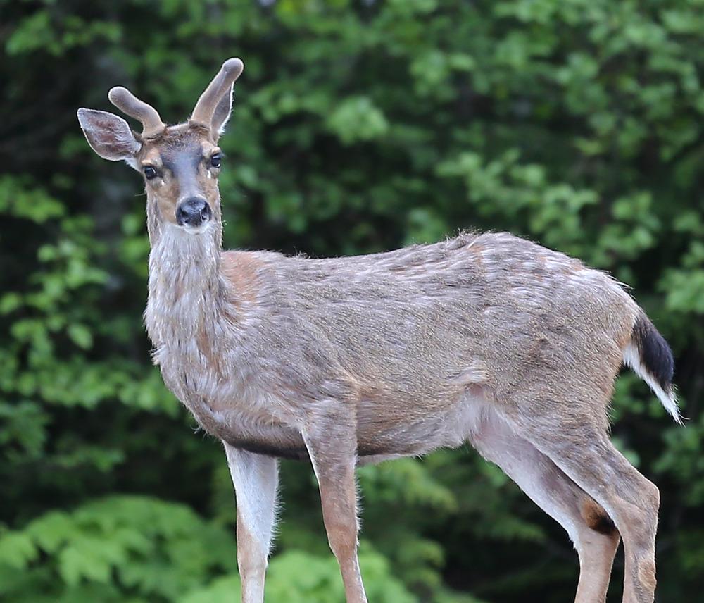 buck deer goofy confused looking funny in velvet southeast alaska prince of wales island