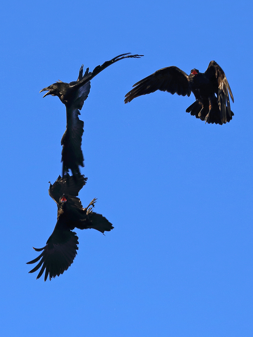 Ravens in flight playing fighting flying aerobatic raucous cool corvids Corvus corax big black bird Southeast Alaska