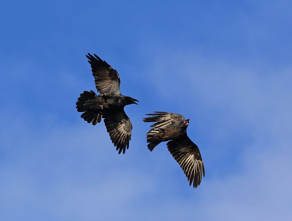 Ravens in flight flying playing fighting corvids Corvus corax Southeast Alaska