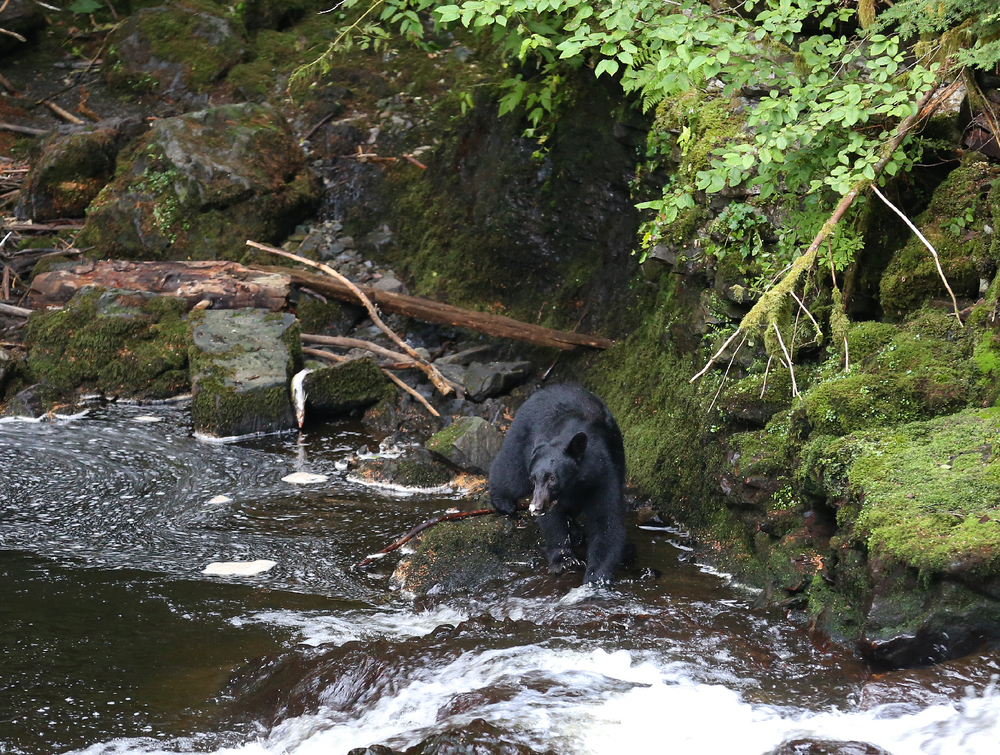 black bear salmon stream Southeast Alaska