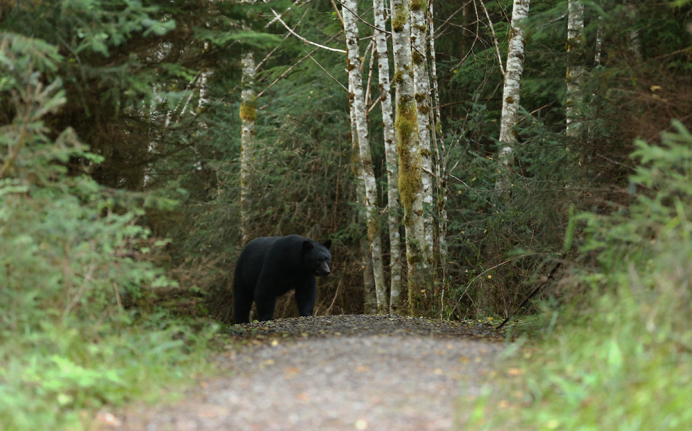 big black bear trail challenge dog salmon creek prince of wales island southeast alaska