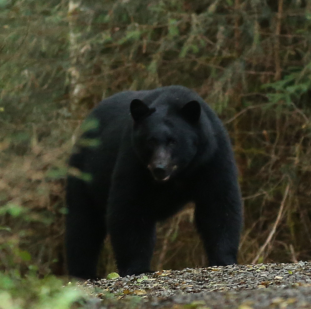 Bear Viewing at Dog Salmon Creek