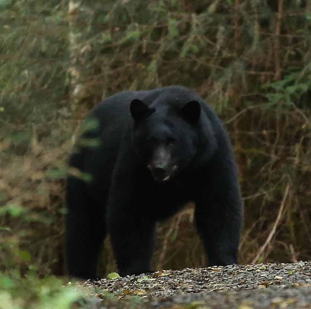 Bear Viewing at Dog Salmon Creek