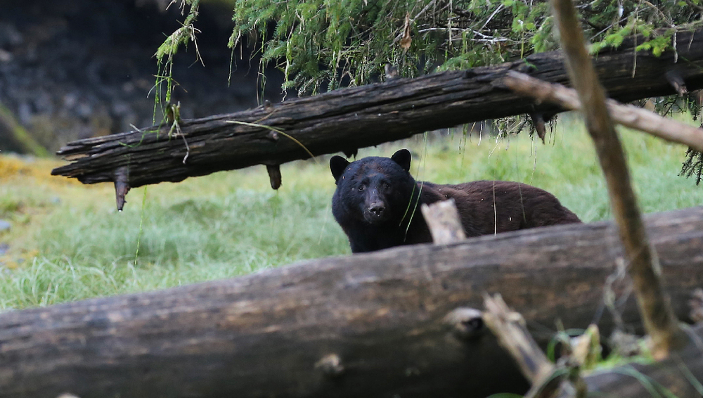 black bear beach ursus americanus prince of wales island southeast alaska