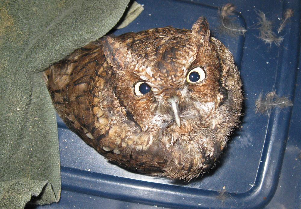 owl screech red phase tough Alaska Southeast