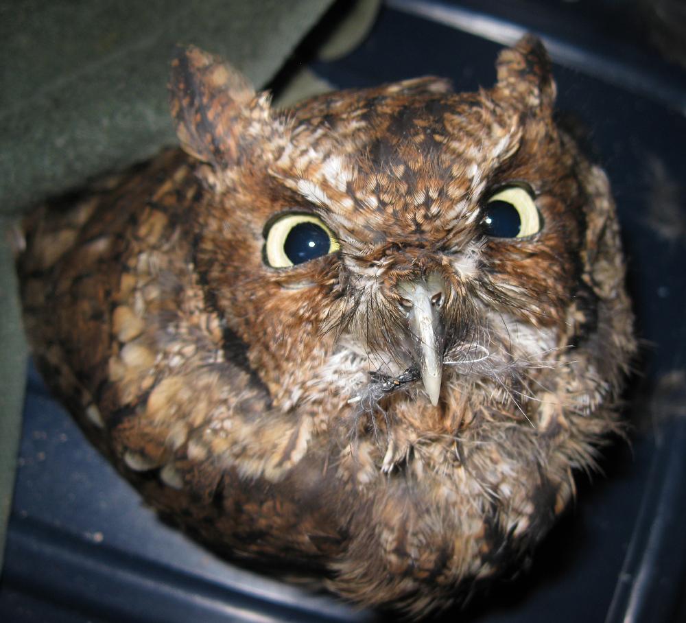 screech owl stinkeye stink eye Southeast Alaska red phase Sitka Raptor Center