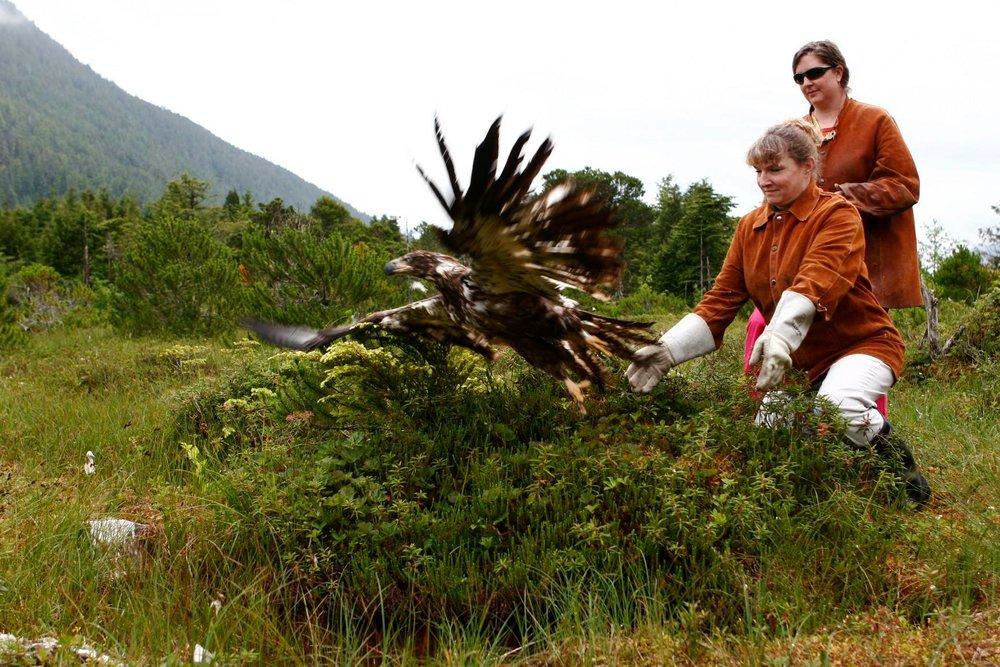 Immature bald eagle released after rehabilitation. Photo courtesy of the Alaska Raptor Center.