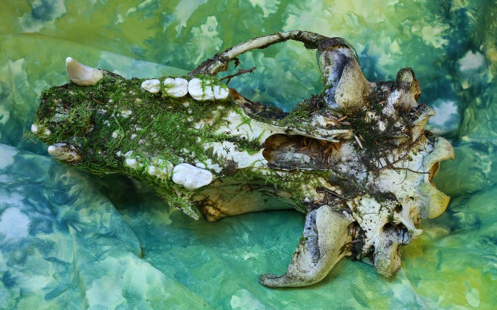 Bear skull underside molars black bear Alaska moss lichen decompose