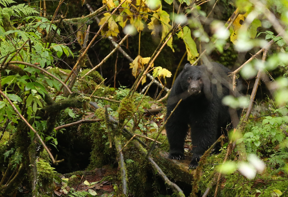 Black bear in the woods Southeast Alaska bushes pissed off ears back