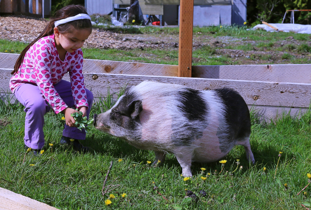 Preschooler Sophia feeding the kale scraps to Walter. Walter is a recently donated/adopted addition to the  Hollis school.