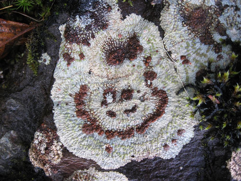Bullseye Lichen Southeast Alaska