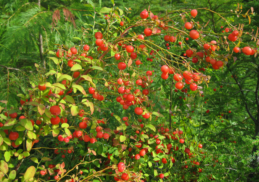 Red huckleberries just before I picked them. :)